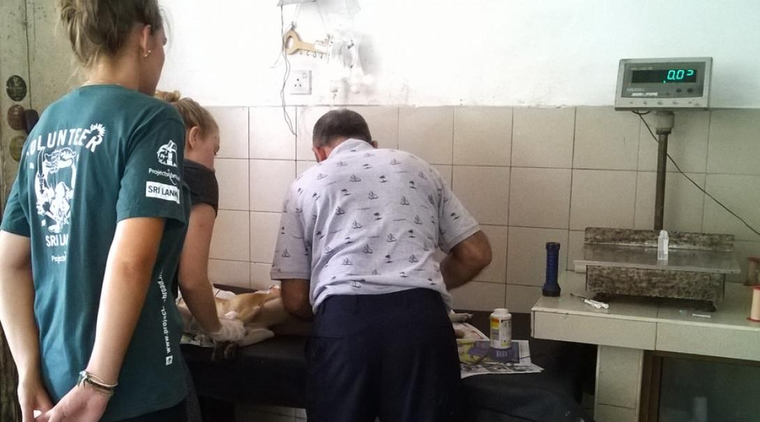 Projects Abroad volunteers observe the work of a qualified vet during their Veterinary Medicine work experience in Sri Lanka.